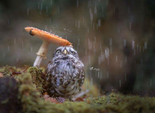 Plodi, bufnita care se ascunde de ploaie, in 10 poze simpatice