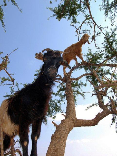 Capre in copaci