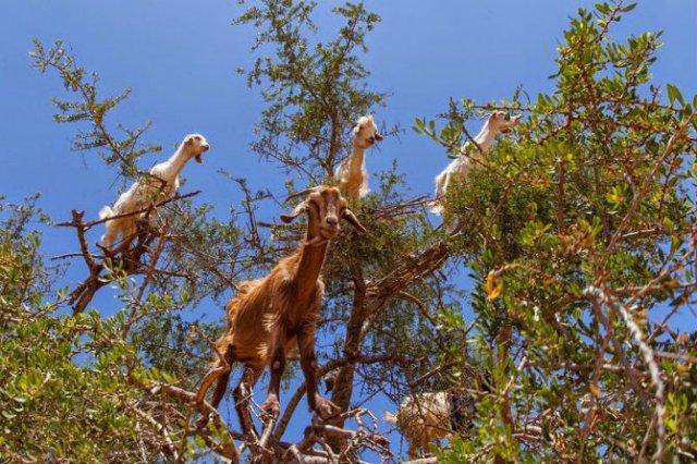 Ciorchini de capre in copaci - Poza 2