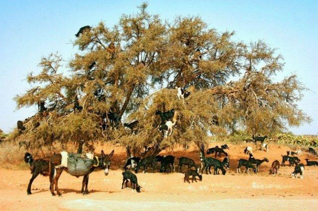 Ciorchini de capre in copaci - Poza 3