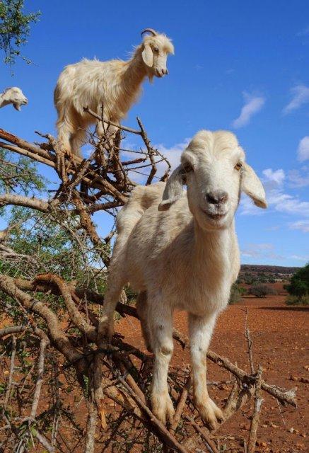 Ciorchini de capre in copaci - Poza 4