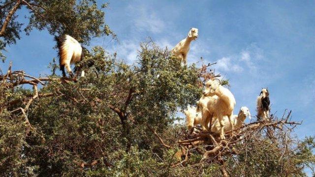 Ciorchini de capre in copaci - Poza 5
