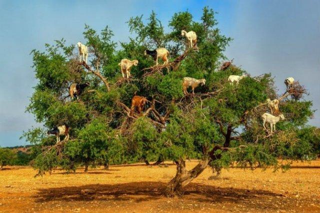 Ciorchini de capre in copaci - Poza 6