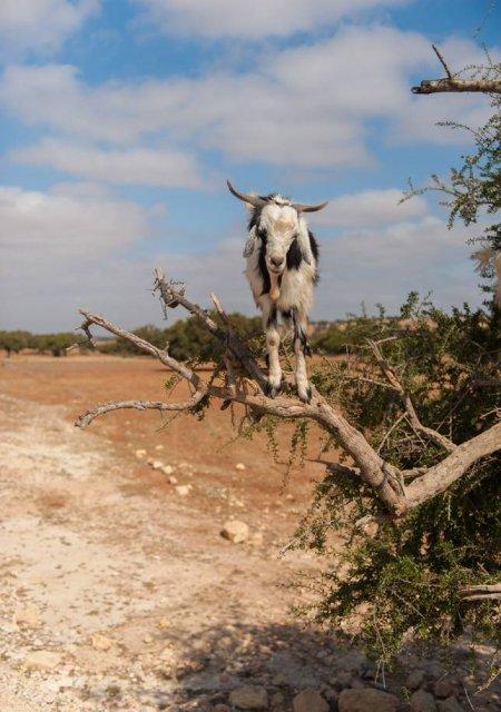 Ciorchini de capre in copaci - Poza 7