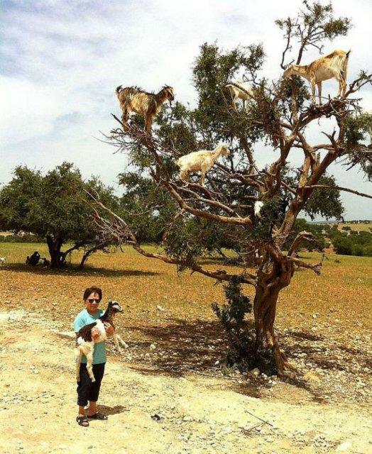 Ciorchini de capre in copaci - Poza 8