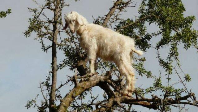 Ciorchini de capre in copaci - Poza 9