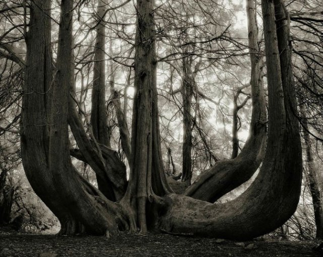 Portretele timpului: Cum arata cei mai batrani copaci din lume