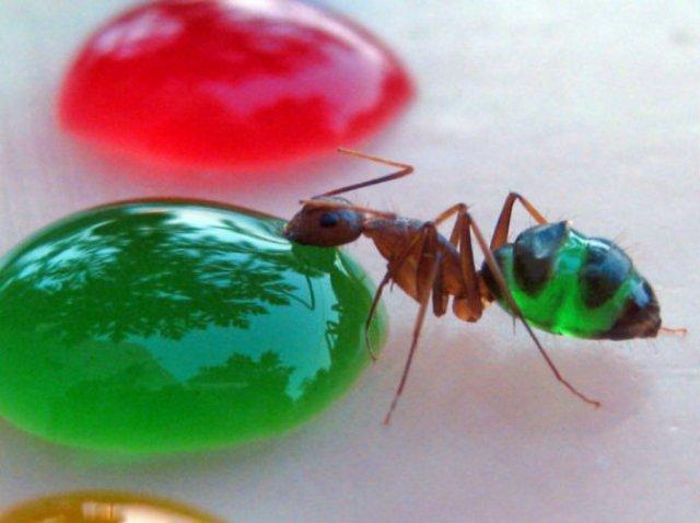 Experiment coloristic: Furnicile-curcubeu fac deliciul unui cercetator - Poza 1