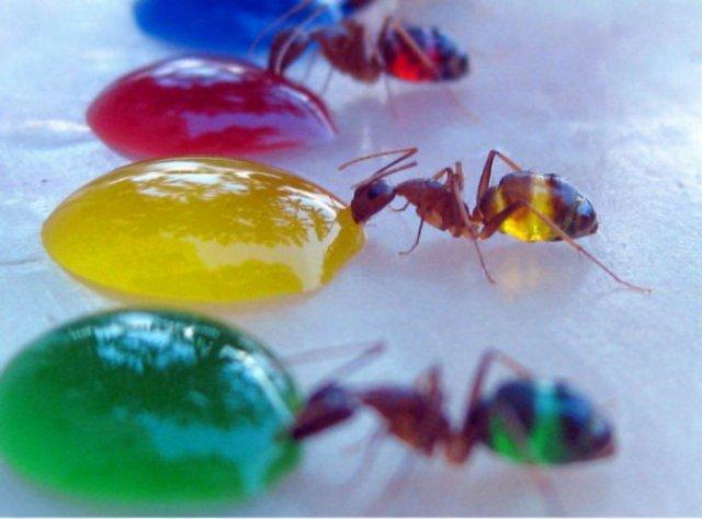 Experiment coloristic: Furnicile-curcubeu fac deliciul unui cercetator - Poza 2