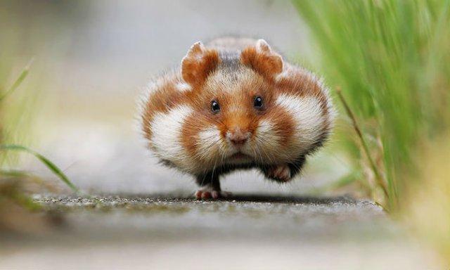 Zece hamsteri adorabili in cele mai haioase ipostaze - Poza 1