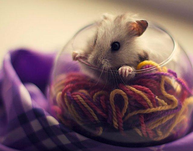 Zece hamsteri adorabili in cele mai haioase ipostaze - Poza 10