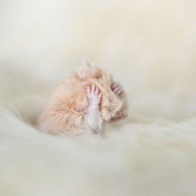 Zece hamsteri adorabili in cele mai haioase ipostaze - Poza 3
