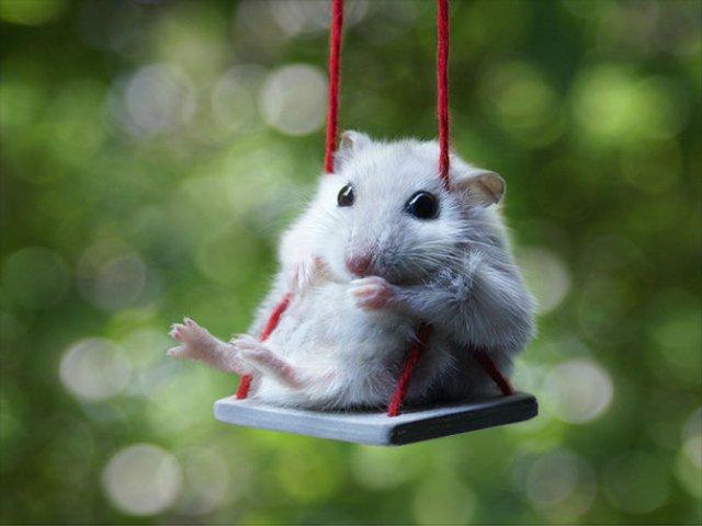 Zece hamsteri adorabili in cele mai haioase ipostaze - Poza 5