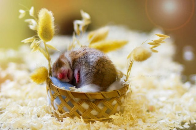 Zece hamsteri adorabili in cele mai haioase ipostaze - Poza 6