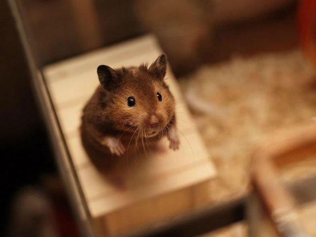 Zece hamsteri adorabili in cele mai haioase ipostaze - Poza 8