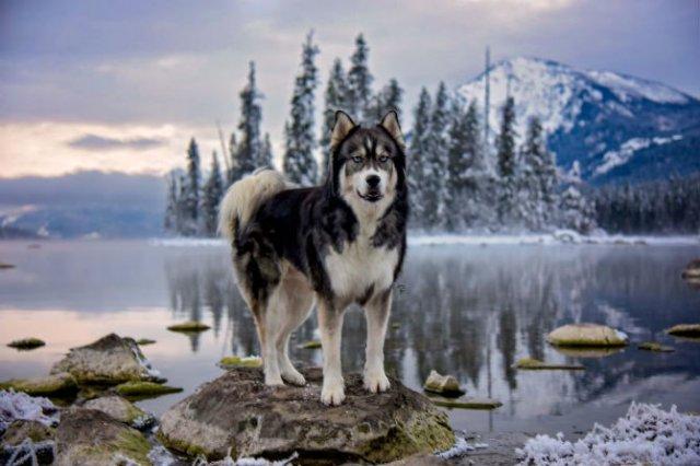 Povestea lui Kyro, un husky slavator - Poza 12