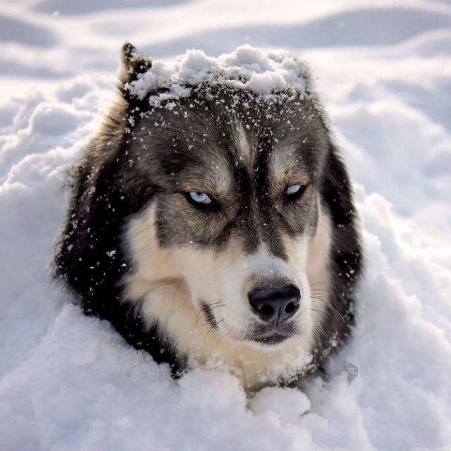 Povestea lui Kyro, un husky slavator - Poza 13