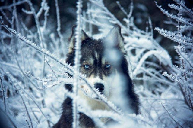 Povestea lui Kyro, un husky slavator - Poza 2