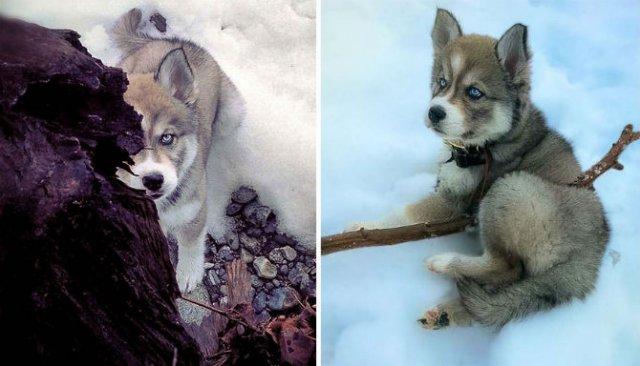 Povestea lui Kyro, un husky slavator - Poza 4