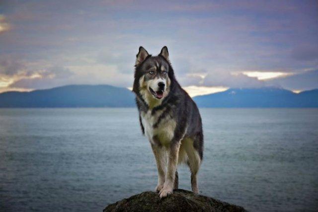Povestea lui Kyro, un husky slavator - Poza 5