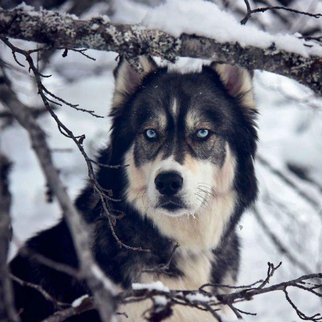 Povestea lui Kyro, un husky slavator - Poza 7