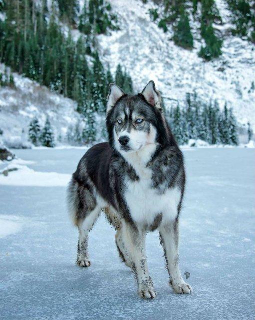 Povestea lui Kyro, un husky slavator - Poza 9