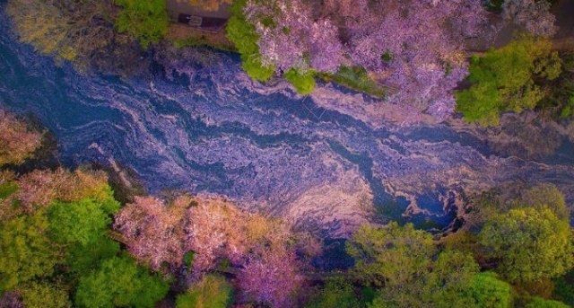 Ciresii infloriti din Japonia, intr-un pictorial de basm - Poza 1