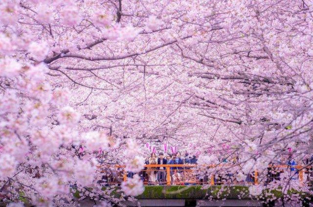 Ciresii infloriti din Japonia, intr-un pictorial de basm - Poza 3