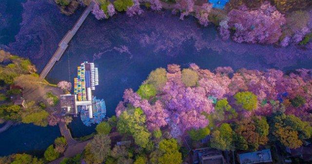 Ciresii infloriti din Japonia, intr-un pictorial de basm - Poza 4