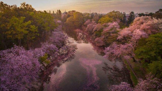 Ciresii infloriti din Japonia, intr-un pictorial de basm - Poza 6