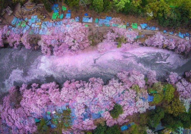 Ciresii infloriti din Japonia, intr-un pictorial de basm - Poza 7