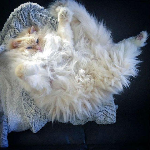 Cea mai pufoasa pisica din lume - Poza 5