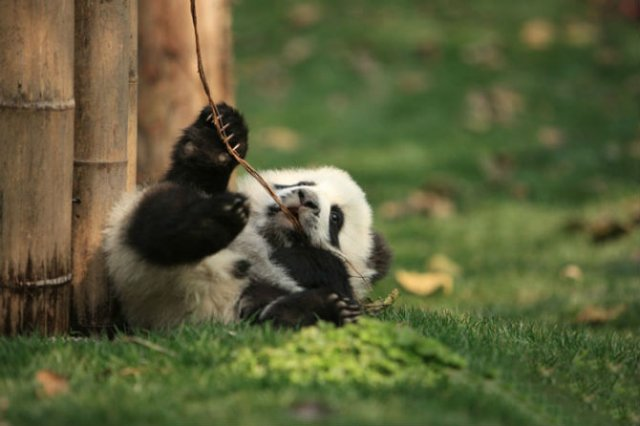 11 Poze cu cei mai simpatici ursi Panda