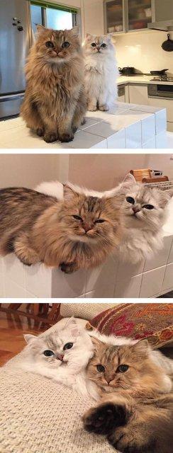 Cele mai pufoase pisici din lume - Poza 14