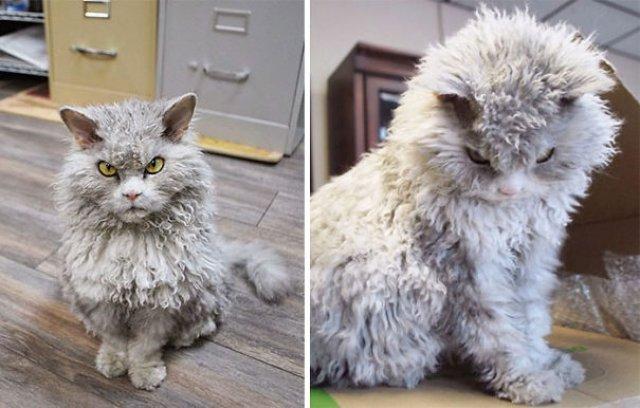 Cele mai pufoase pisici din lume - Poza 16