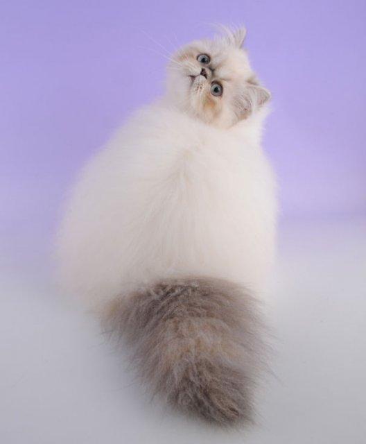 Cele mai pufoase pisici din lume - Poza 17