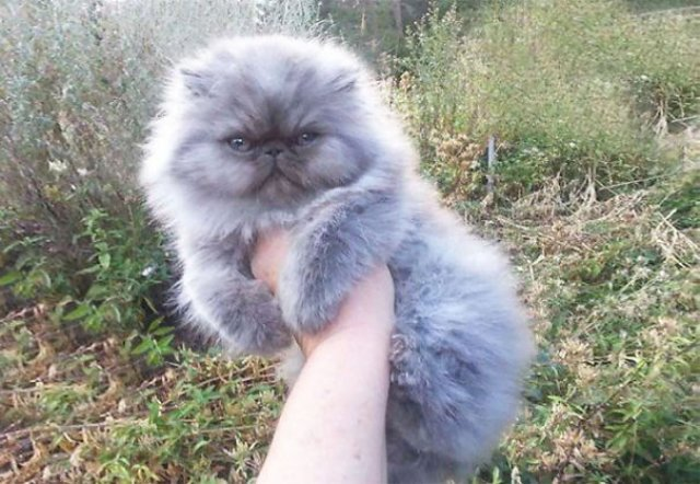 Cele mai pufoase pisici din lume - Poza 18