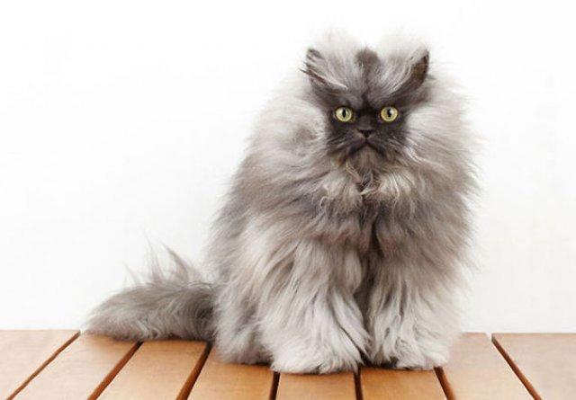 Cele mai pufoase pisici din lume - Poza 23