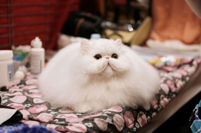 Cele mai pufoase pisici din lume - Poza 24