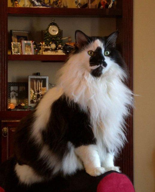 Cele mai pufoase pisici din lume - Poza 25