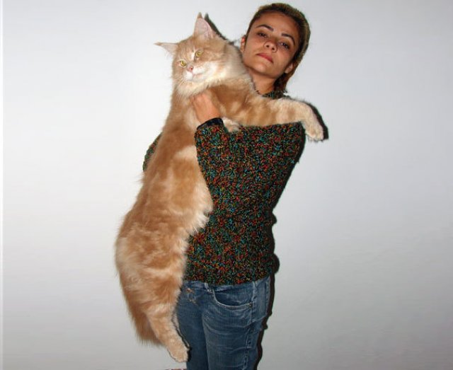 Feline XXL: Cele mai mari pisici din lume - Poza 14