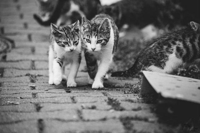 Pisici in alb si negru: Cel mai vibrant pictorial cenusiu cu feline - Poza 16