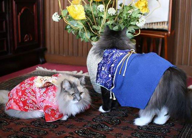 Pisicile in chimonouri fac furori in Japonia - Poza 12