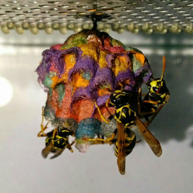 Cuiburi multicolore de viespi