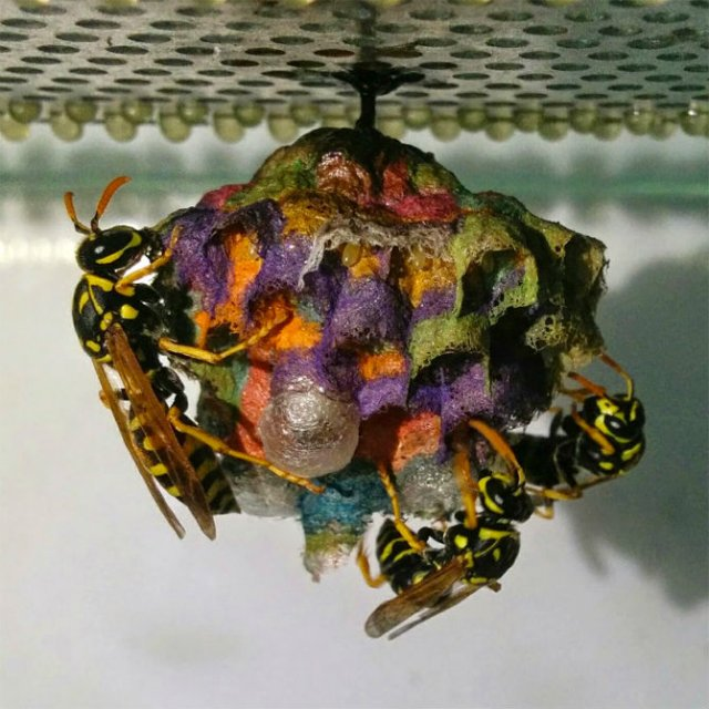 Arhitectii naturii: Cuiburi multicolore de viespi - Poza 4