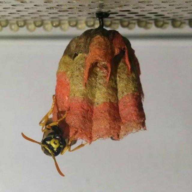 Arhitectii naturii: Cuiburi multicolore de viespi - Poza 5