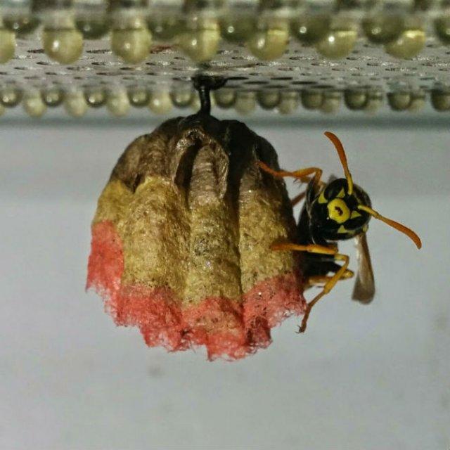 Arhitectii naturii: Cuiburi multicolore de viespi - Poza 6