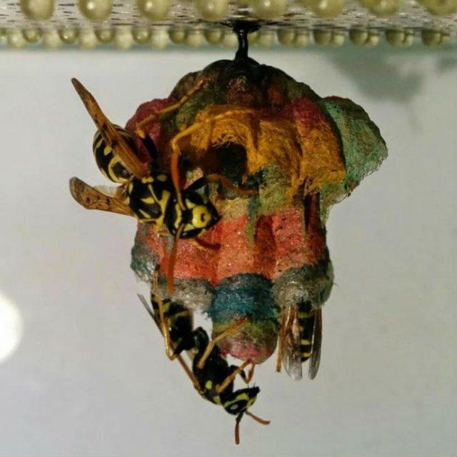 Arhitectii naturii: Cuiburi multicolore de viespi - Poza 7