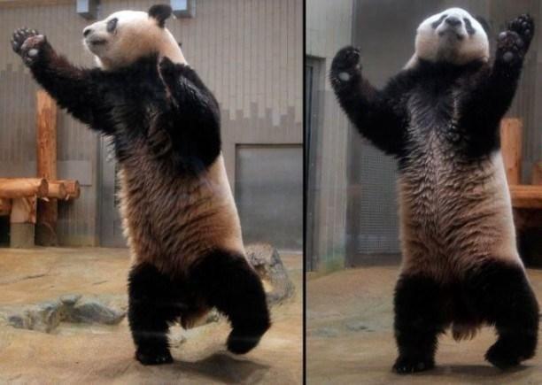 Dans si veselie: Animale haioase, in ipostaze unice - Poza 13