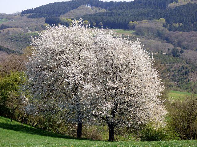 Splendoarea copacilor infloriti in poze superbe - Poza 17